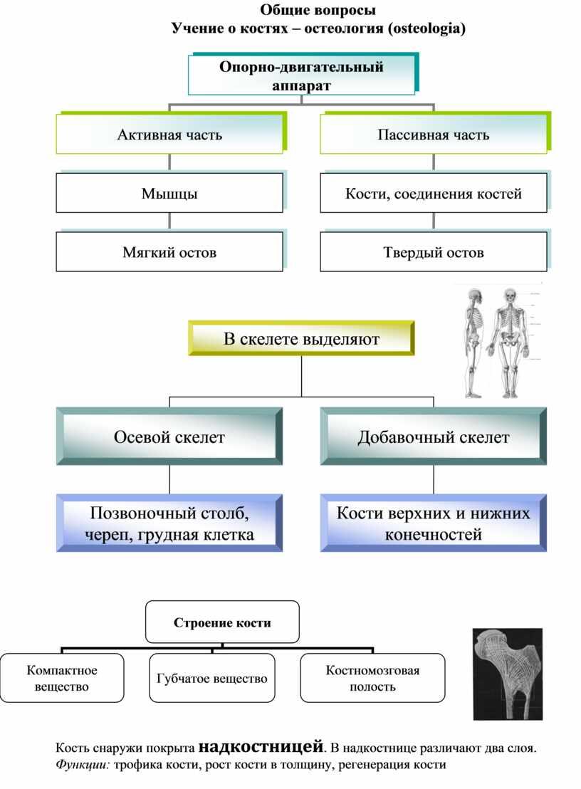 Общие вопросы Учение о костях – остеология (osteologia)