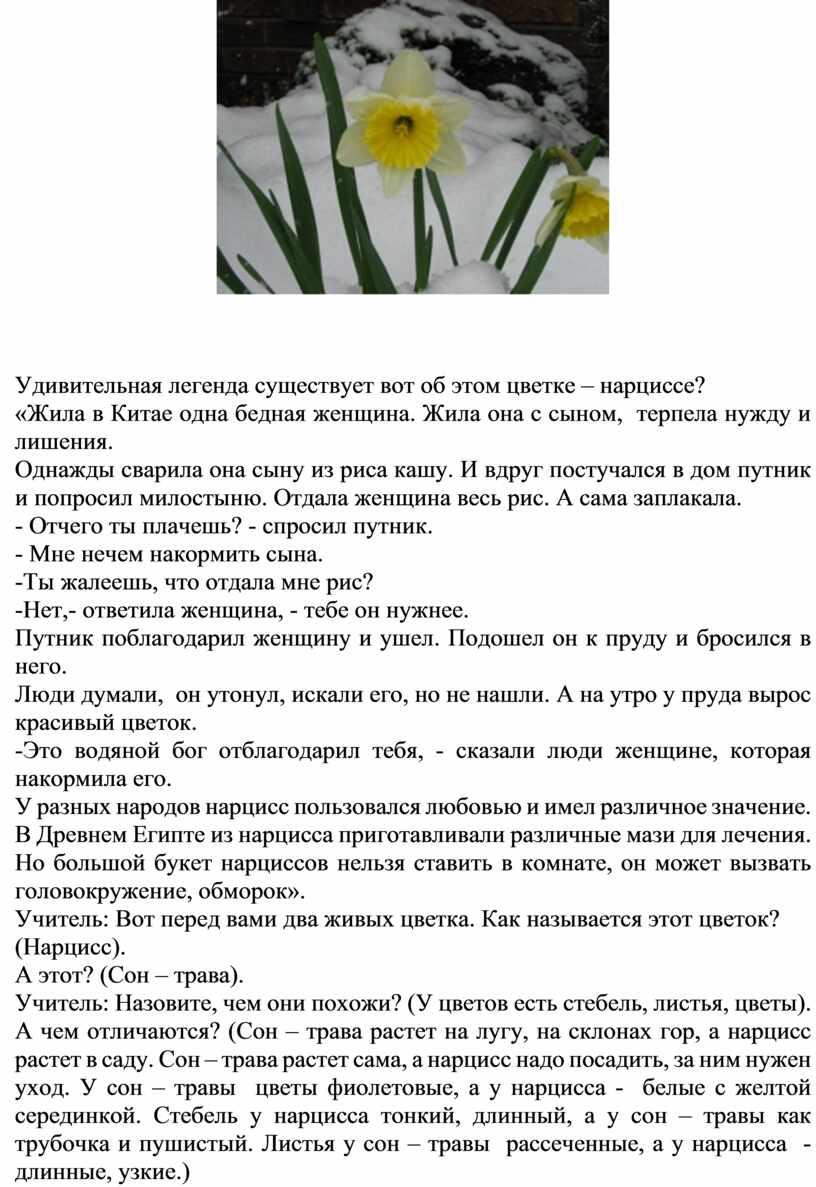 Удивительная легенда существует вот об этом цветке – нарциссе? «Жила в
