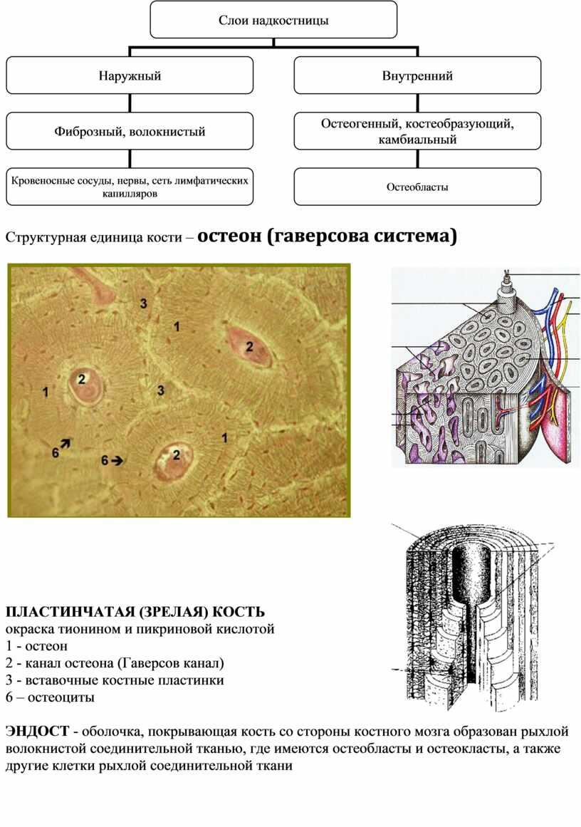 Структурная единица кости – остеон (гаверсова система)