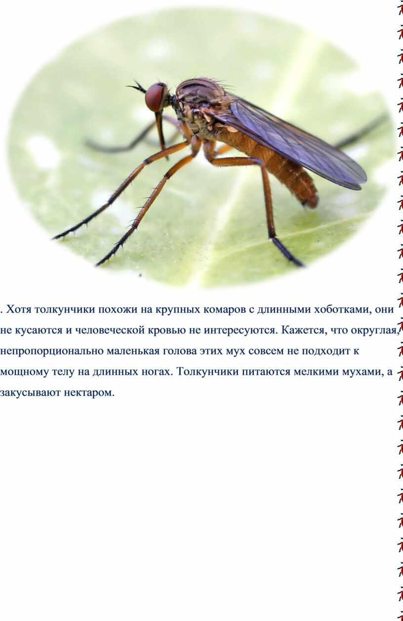 Хотя толкунчики похожи на крупных комаров с длинными хоботками, они не кусаются и человеческой кровью не интересуются