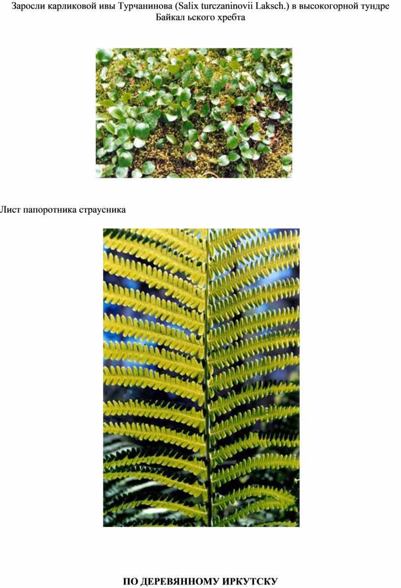 Заросли карликовой ивы Турчанинова (Salix turczaninovii