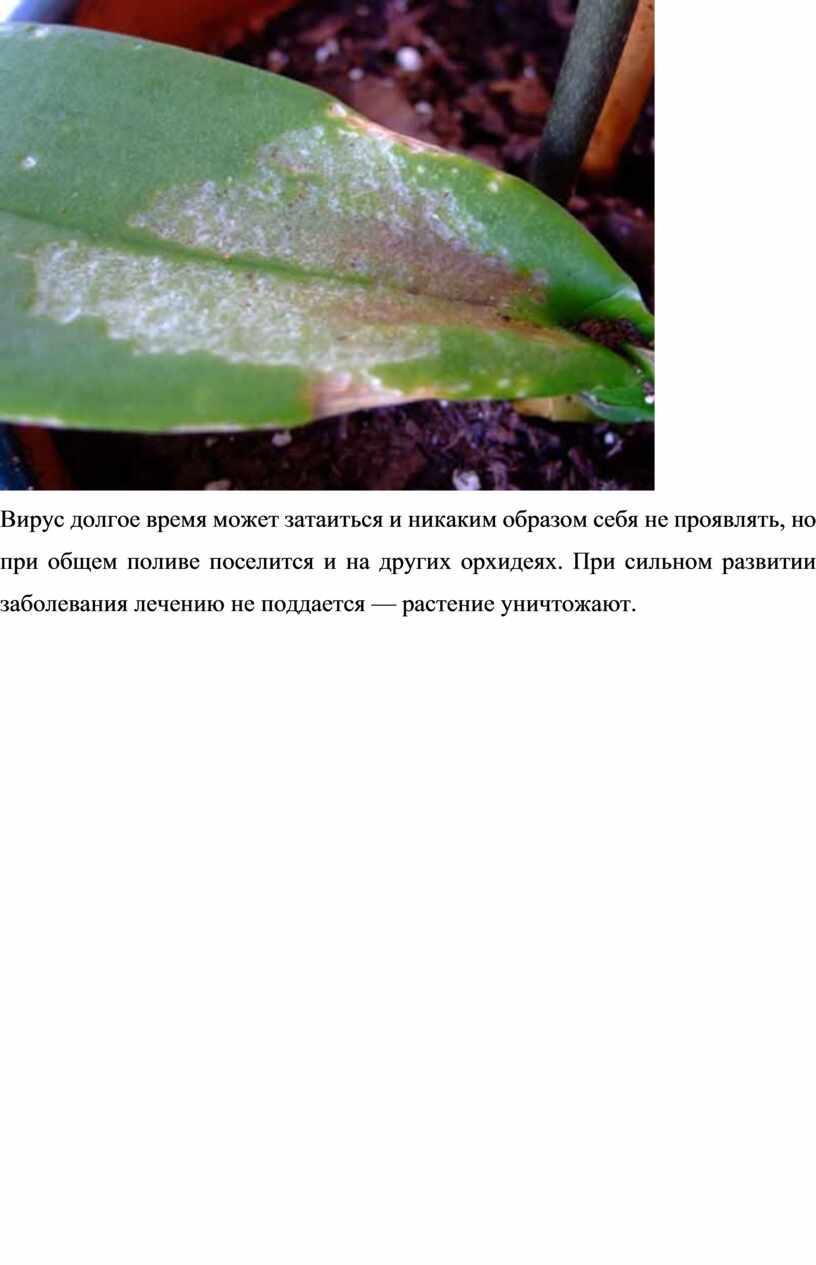 Вирус долгое время может затаиться и никаким образом себя не проявлять, но при общем поливе поселится и на других орхидеях