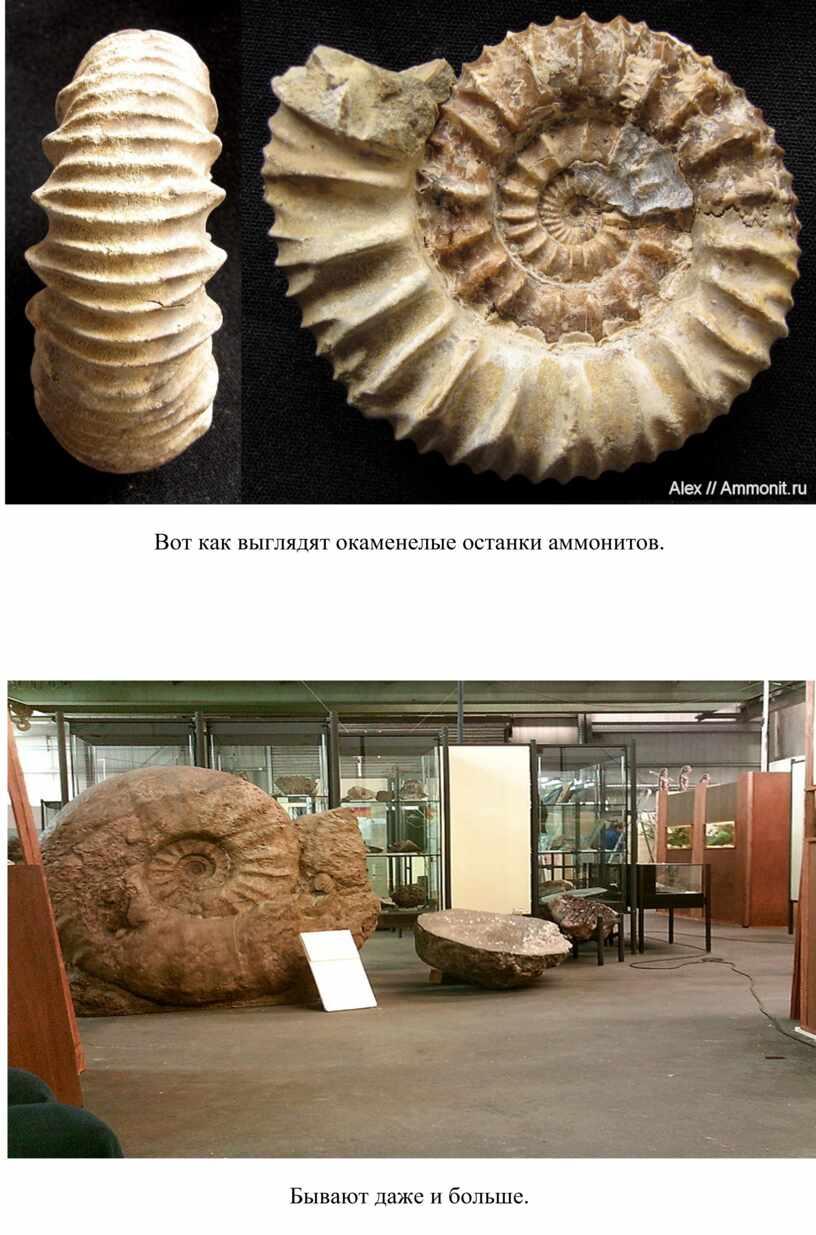 Вот как выглядят окаменелые останки аммонитов