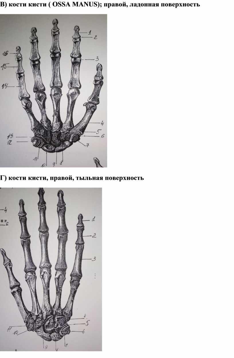 В) кости кисти ( OSSA MANUS ); правой, ладонная поверхность