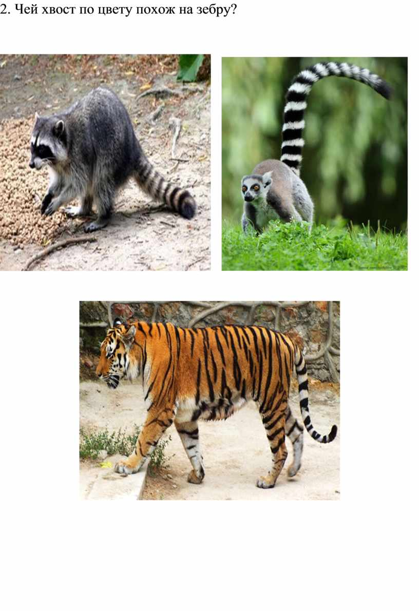 Чей хвост по цвету похож на зебру?