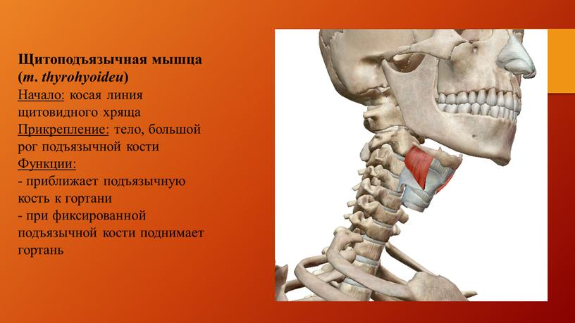 Щитоподъязычная мышца ( m. thyrohyoideu )