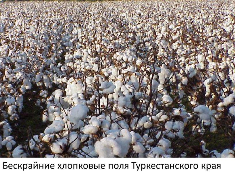 Бескрайние хлопковые поля Туркестанского края