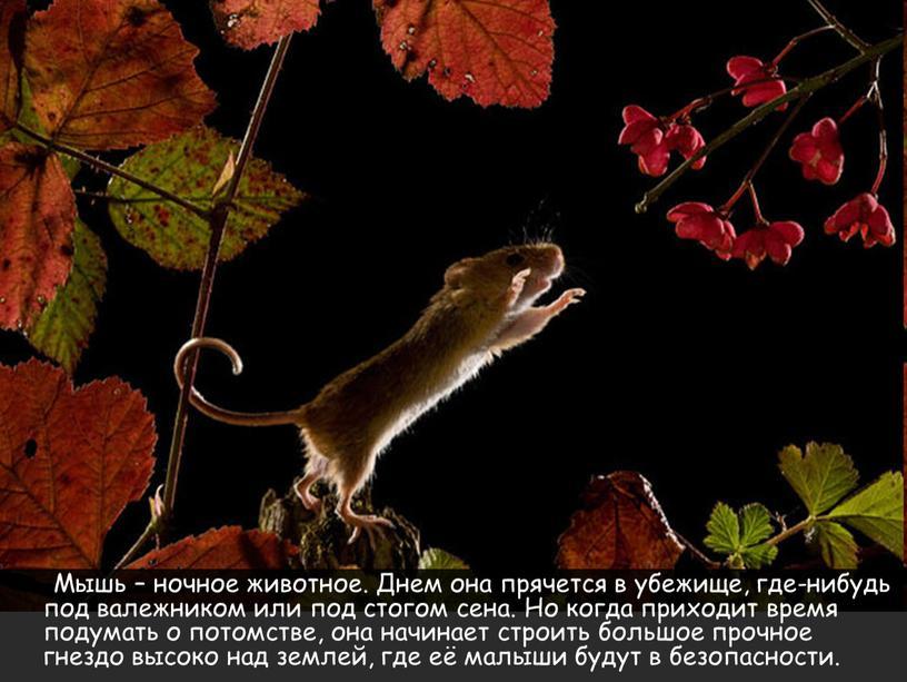 Мышь – ночное животное. Днем она прячется в убежище, где-нибудь под валежником или под стогом сена