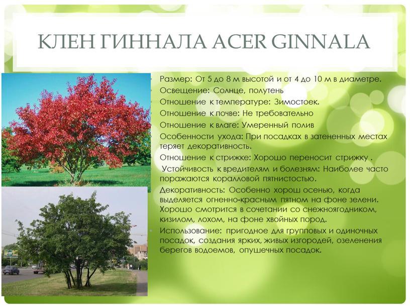 Клен гиннала Acer ginnala Размер: