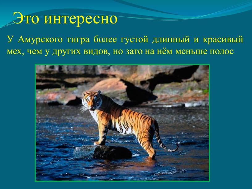 Это интересно У Амурского тигра более густой длинный и красивый мех, чем у других видов, но зато на нём меньше полос