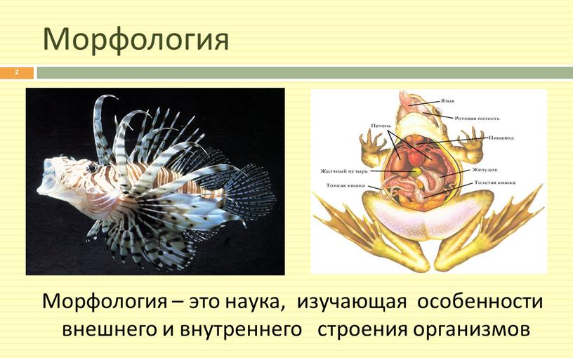 Морфология Морфология – это наука, изучающая особенности внешнего и внутреннего строения организмов 2