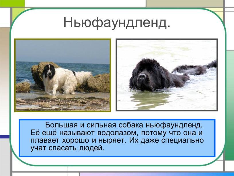 Ньюфаундленд. Большая и сильная собака ньюфаундленд