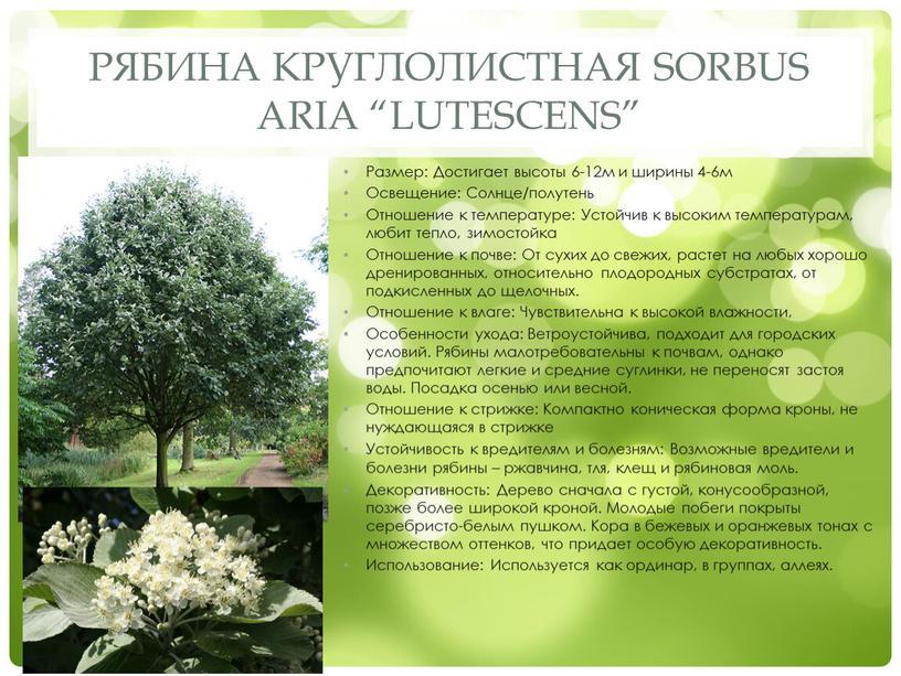 """Рябина круглолистная Sorbus aria """"Lutescens"""""""