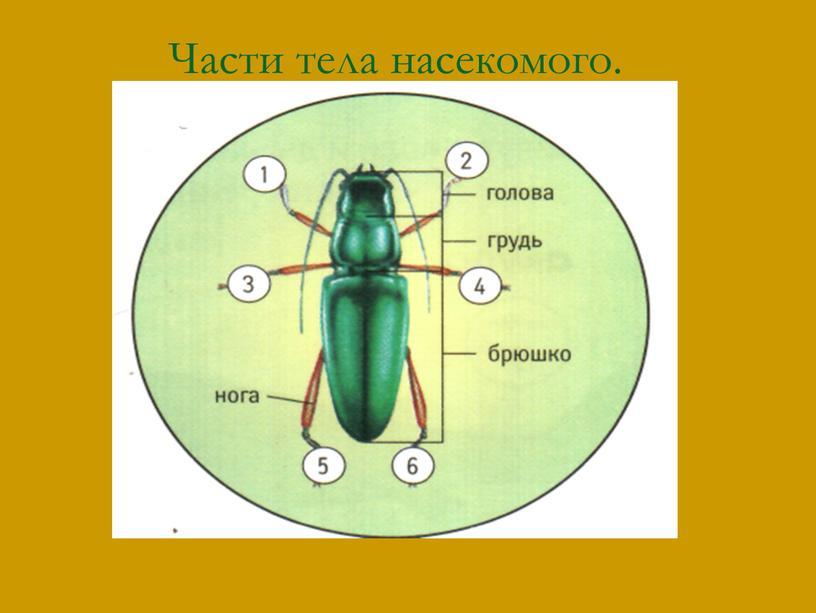 Части тела насекомого.