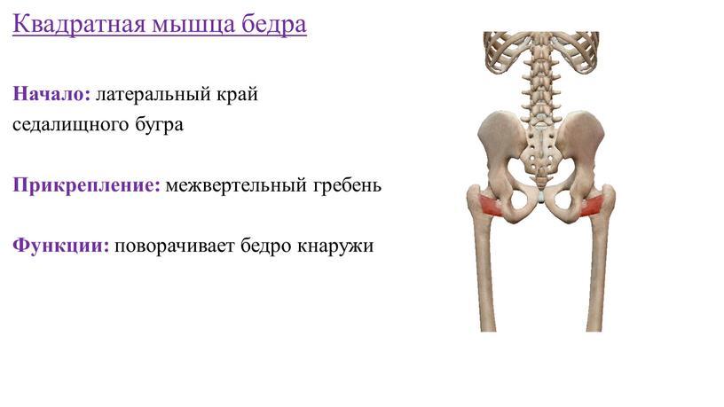 Квадратная мышца бедра Начало: латеральный край седалищного бугра