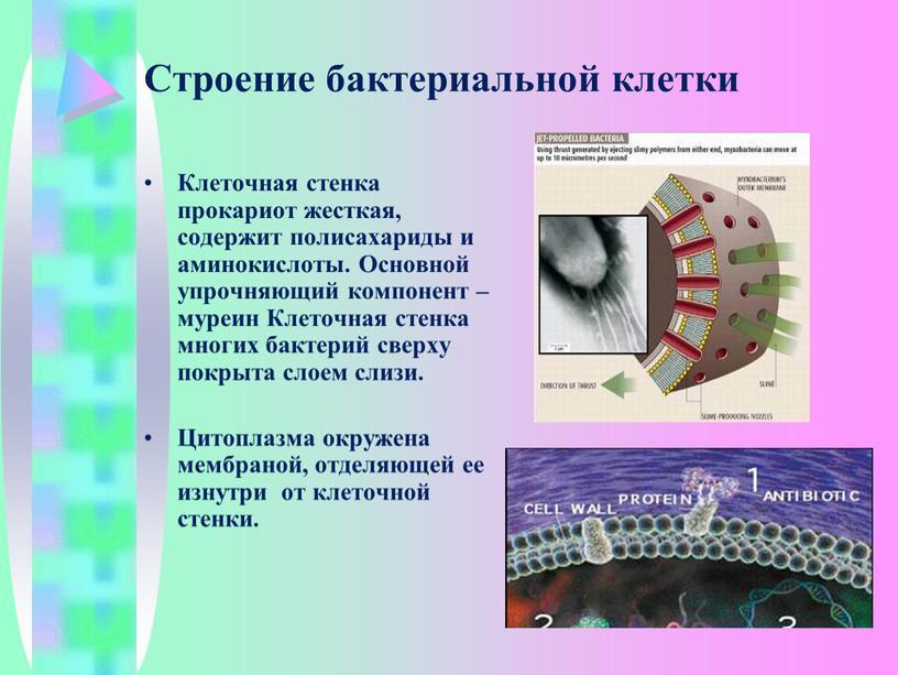 Строение бактериальной клетки Клеточная стенка прокариот жесткая, содержит полисахариды и аминокислоты