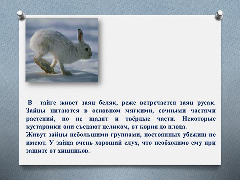 В тайге живет заяц беляк, реже встречается заяц русак