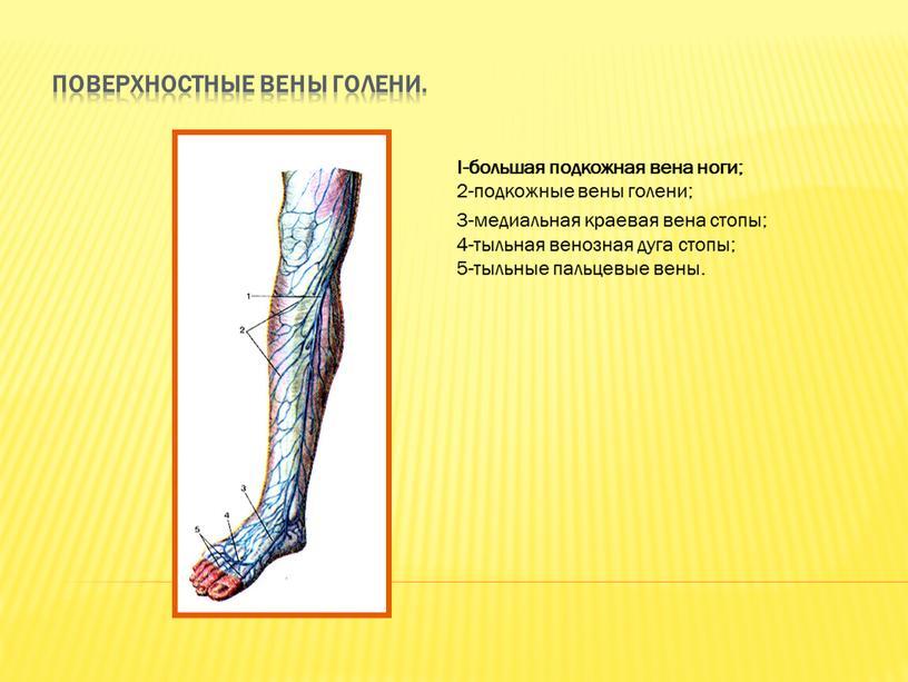 Поверхностные вены голени. I-большая подкожная вена ноги; 2-подкожные вены голени; 3-медиальная краевая вена стопы; 4-тыльная венозная дуга стопы; 5-тыльные пальцевые вены