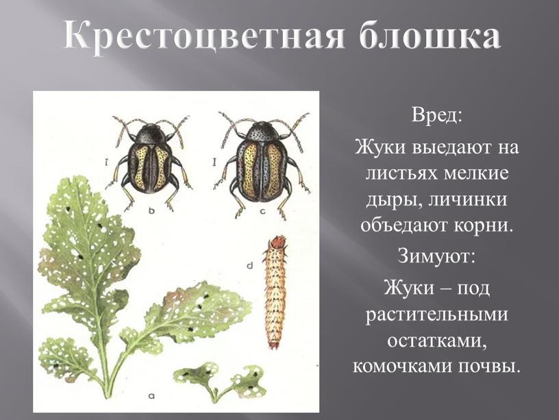 Крестоцветная блошка Вред: Жуки выедают на листьях мелкие дыры, личинки объедают корни