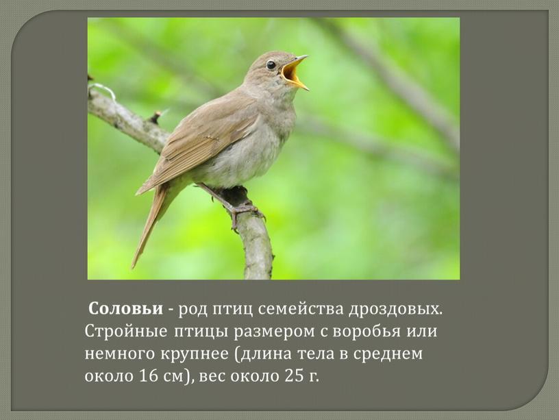 Соловьи - род птиц семейства дроздовых