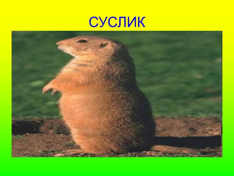 СУСЛИК