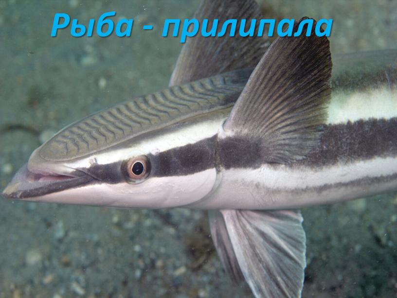 Рыба - прилипала
