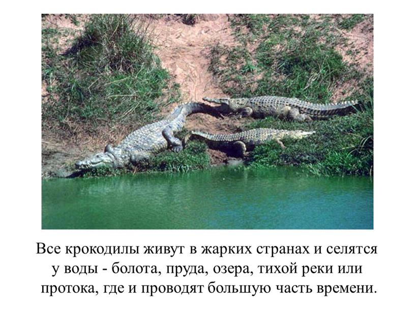Все крокодилы живут в жарких странах и селятся у воды - болота, пруда, озера, тихой реки или протока, где и проводят большую часть времени