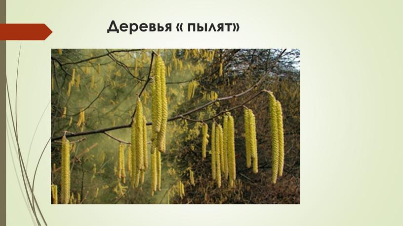 Деревья « пылят»