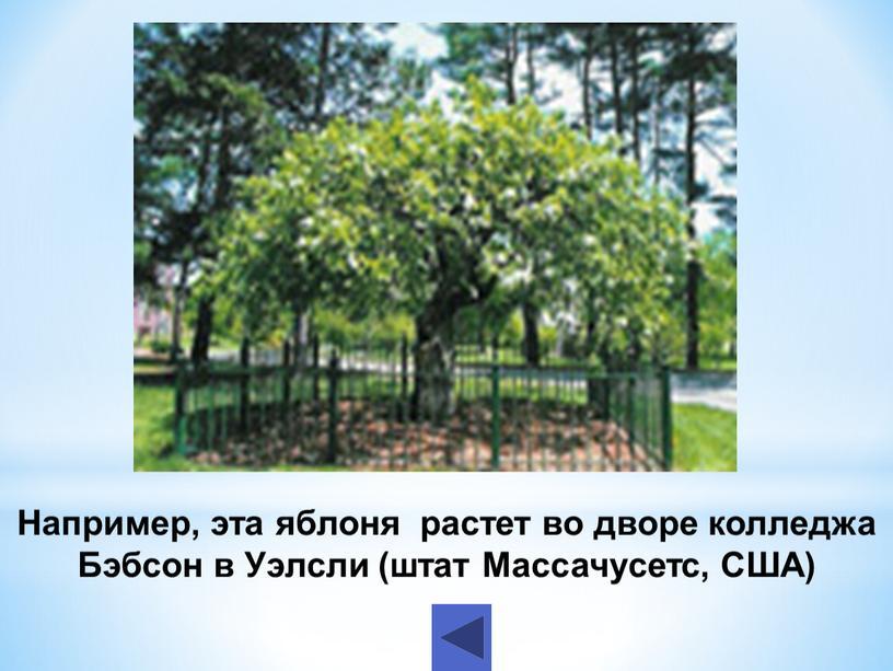 Например, эта яблоня растет во дворе колледжа
