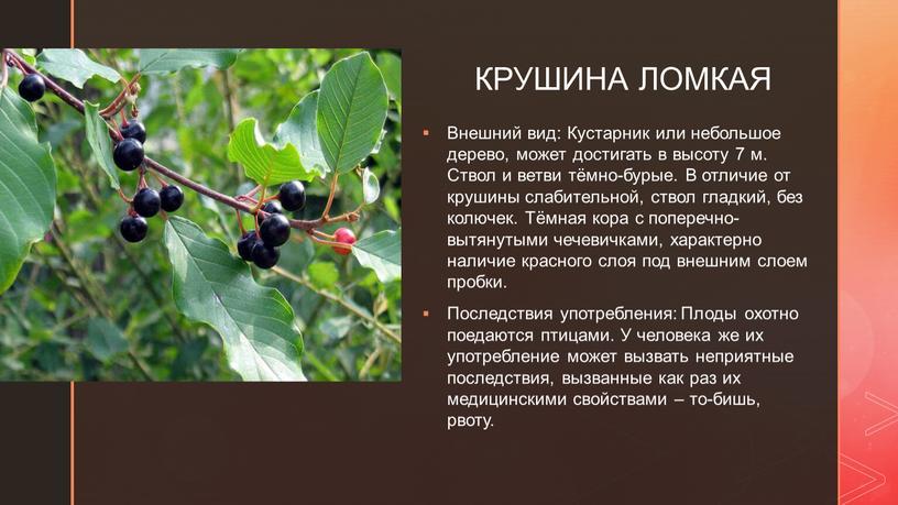 КРУШИНА ЛОМКАЯ Внешний вид: Кустарник или небольшое дерево, может достигать в высоту 7 м