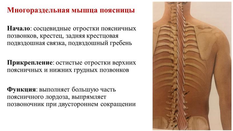 Многораздельная мышца поясницы