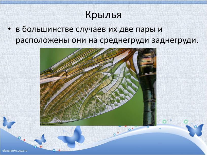 Крылья в большинстве случаев их две пары и расположены они на среднегруди заднегруди