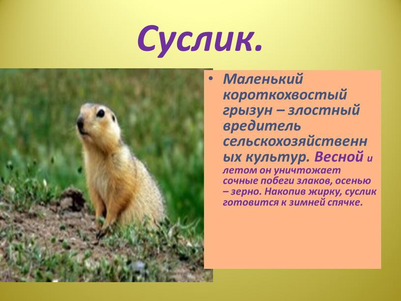Суслик. Маленький короткохвостый грызун – злостный вредитель сельскохозяйственных культур