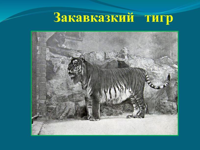 Закавказкий тигр