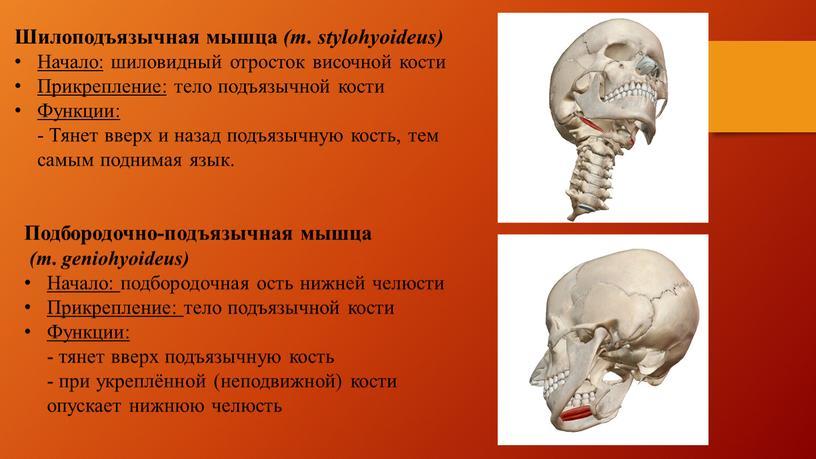 Шилоподъязычная мышца (m. stylohyoideus)