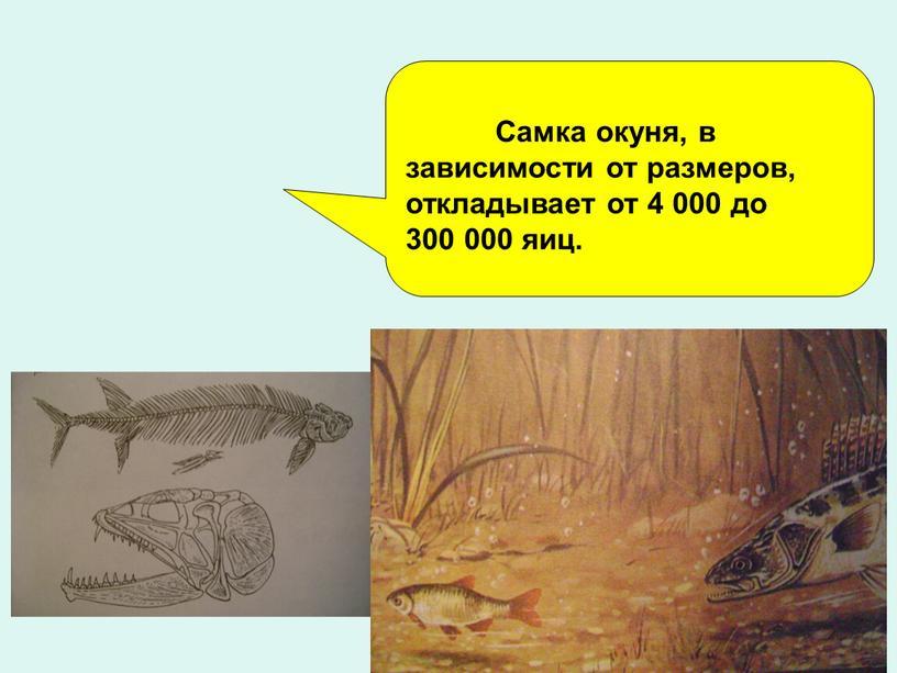 Самка окуня, в зависимости от размеров, откладывает от 4 000 до 300 000 яиц