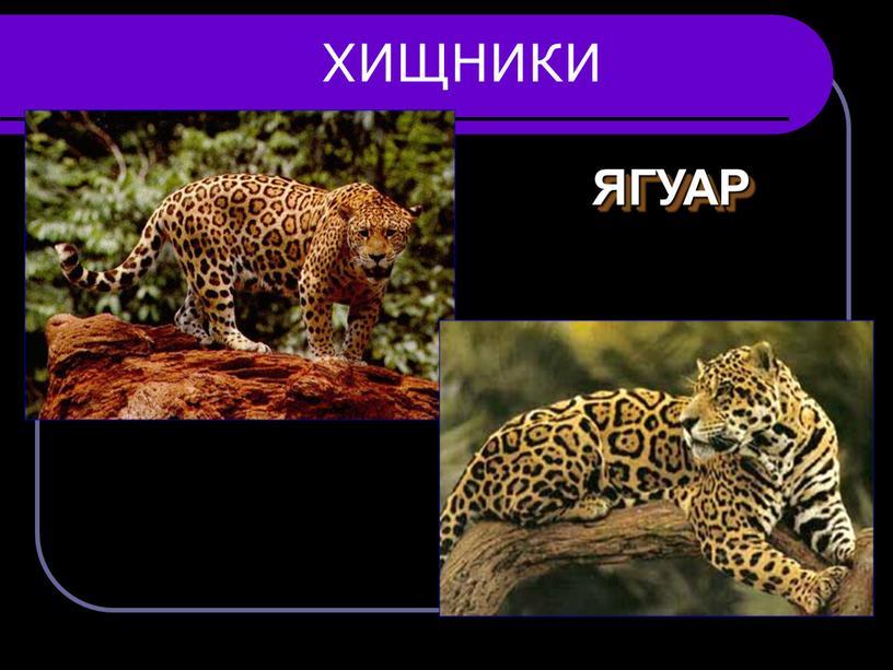 ХИЩНИКИ ЯГУАР