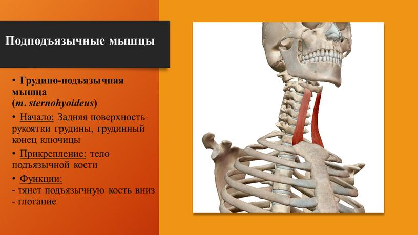 Подподъязычные мышцы Грудино-подъязычная мышца ( m