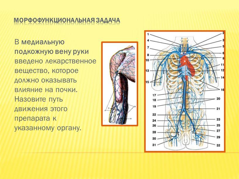 Морфофункциональная задача В медиальную подкожную вену руки введено лекарственное вещество, которое должно оказывать влияние на почки
