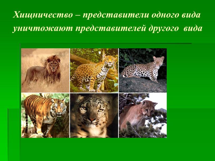 Хищничество – представители одного вида уничтожают представителей другого вида