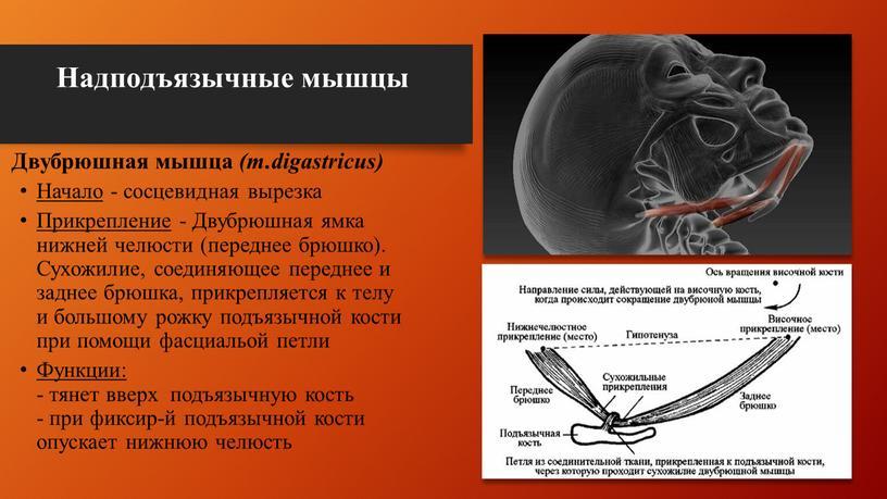 Надподъязычные мышцы Двубрюшная мышца (m
