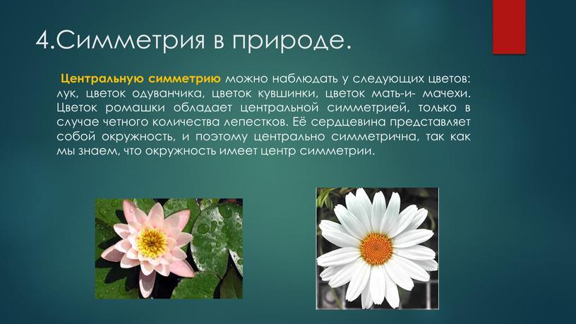 Симметрия в природе. Центральную симметрию можно наблюдать у следующих цветов: лук, цветок одуванчика, цветок кувшинки, цветок мать-и- мачехи