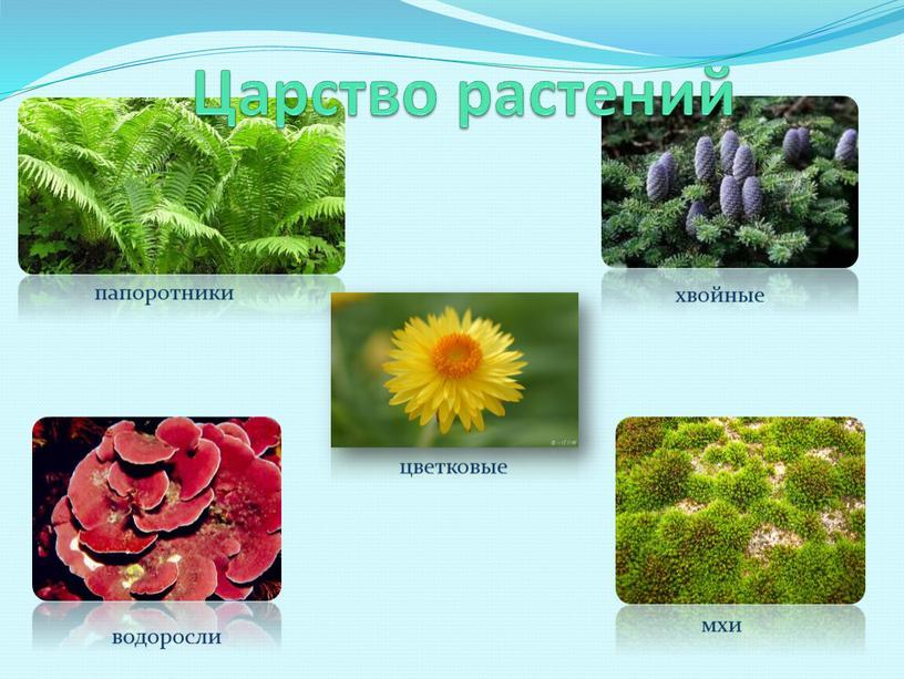 Царство растений хвойные цветковые