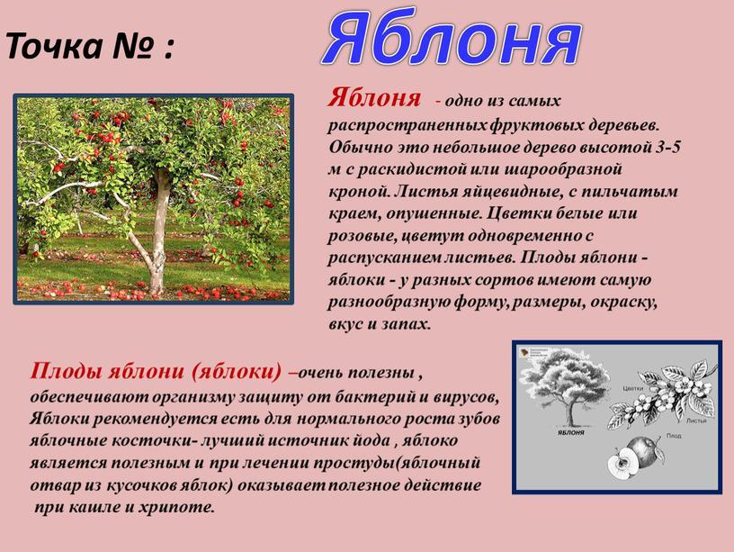 Точка № : Яблоня Яблоня - одно из самых распространенных фруктовых деревьев