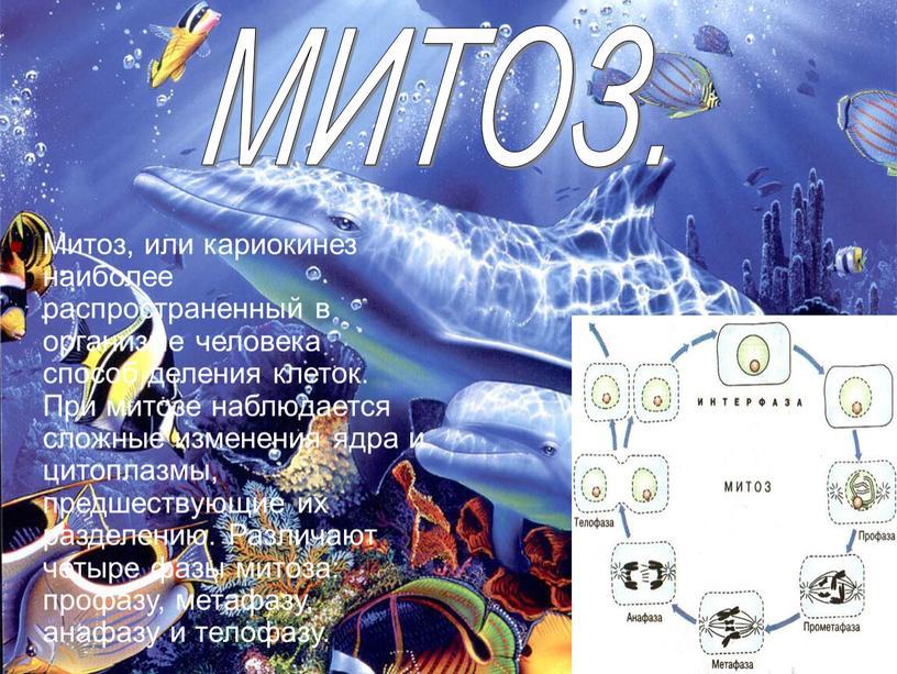 Митоз, или кариокинез наиболее распространенный в организме человека способ деления клеток