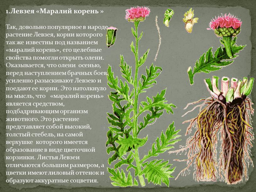 Левзея «Маралий корень » Так, довольно популярное в народе растение