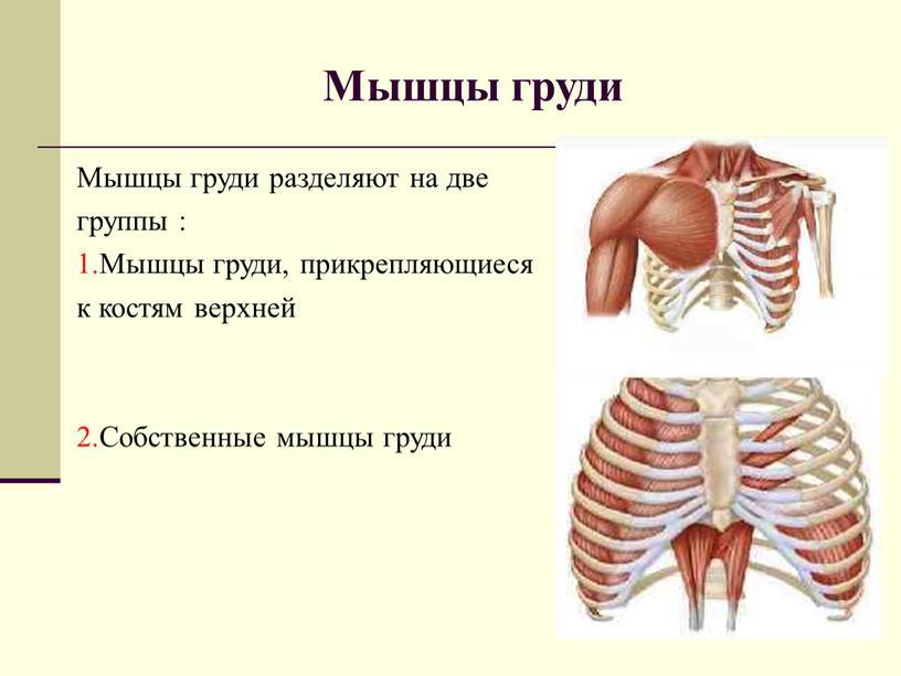 Мышцы груди Мышцы груди разделяют на две группы : 1