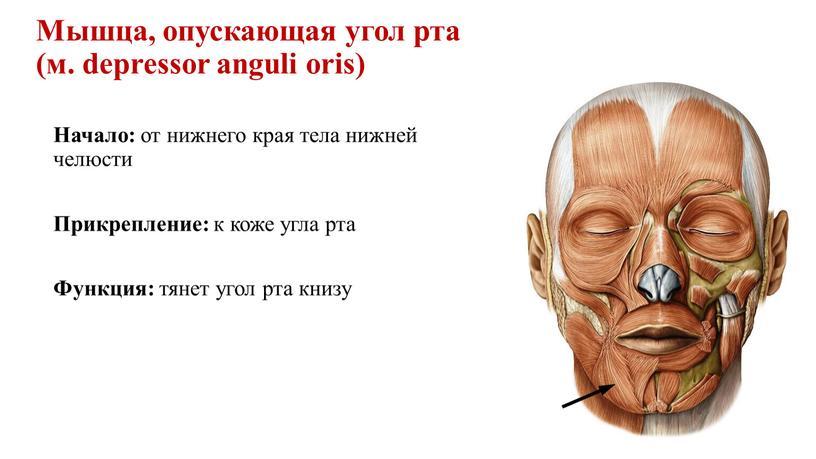 Мышца, опускающая угол рта (м. depressor anguli oris)