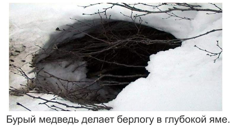 Бурый медведь делает берлогу в глубокой яме