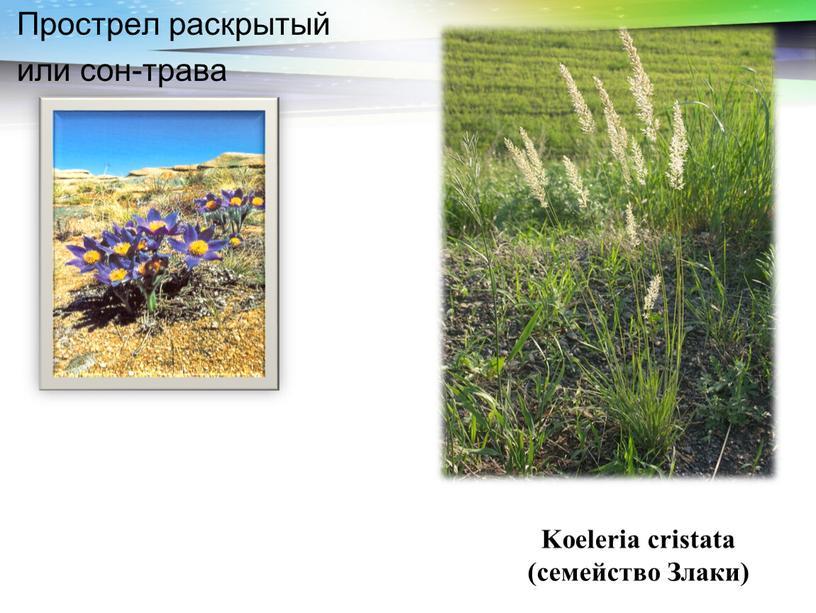 Прострел раскрытый или сон-трава